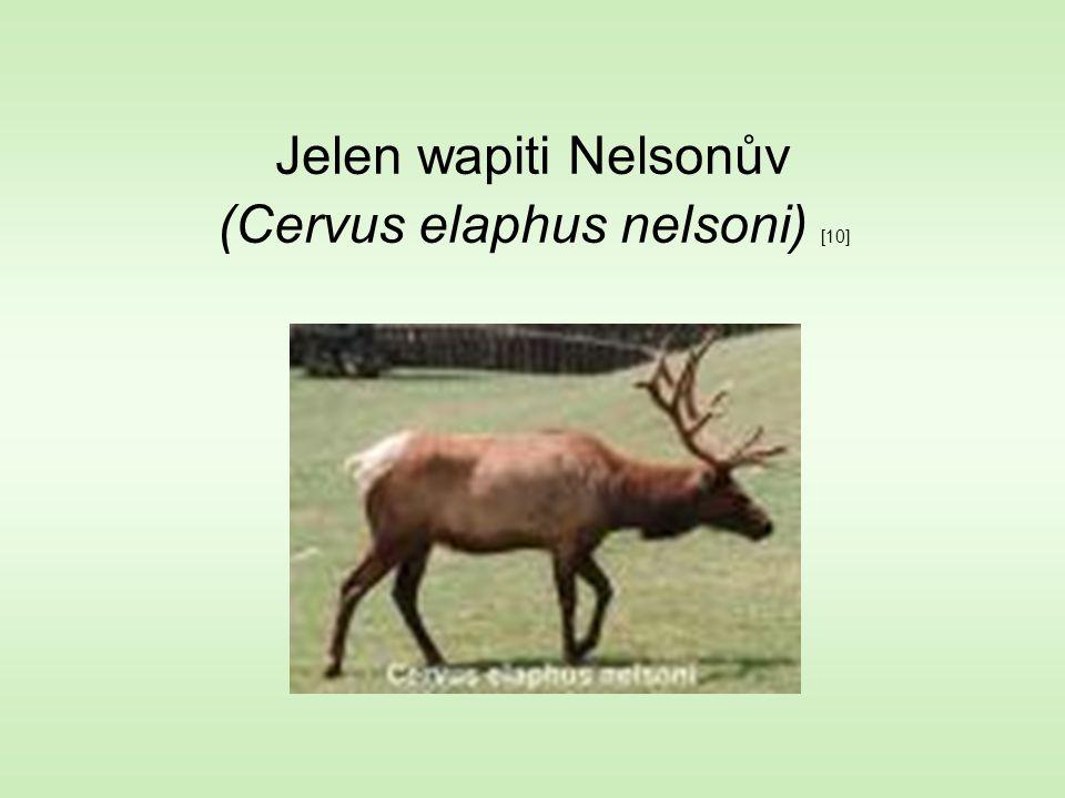 Jelen wapiti Nelsonův (Cervus elaphus nelsoni) [10]